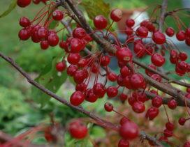 Edible crabapple fruit