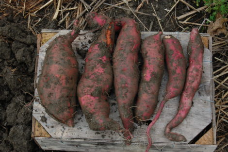 Sweet potato roots of different sizes